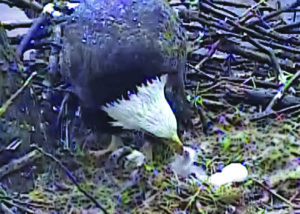 AP Photo. An adult eagle can be seen feeding its new hatchling in this live web camera on the nest in the city's Hays neighborhood on March 29.