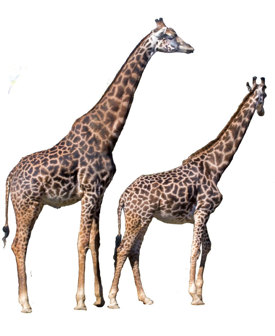 Features- giraffe copy